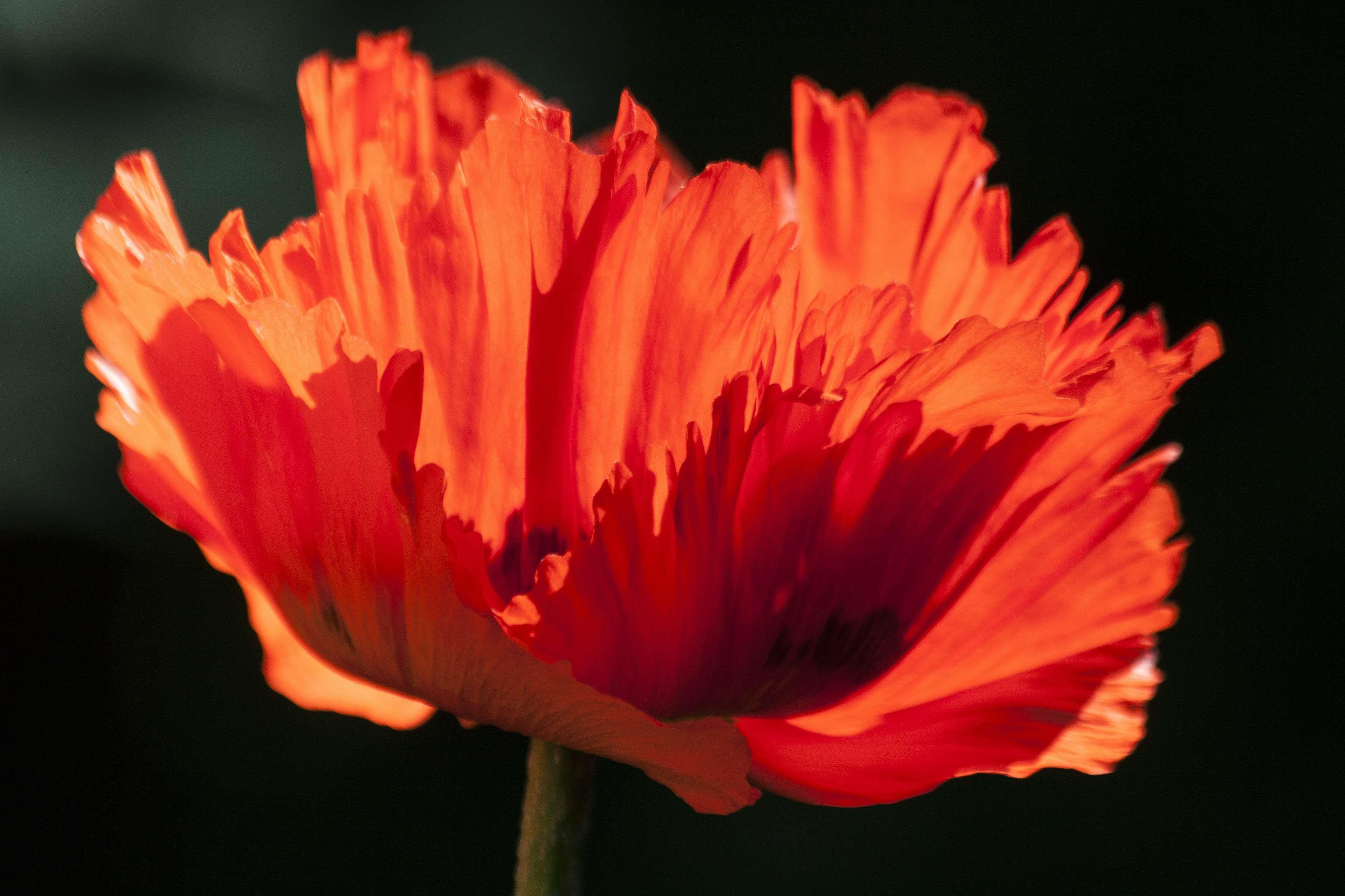 Bloom Blossom Close Up Flora Flower Hd Wallpaper Nature Poppy