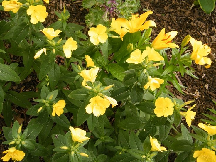 yellow flowering perennials | My yellow flower patch ...