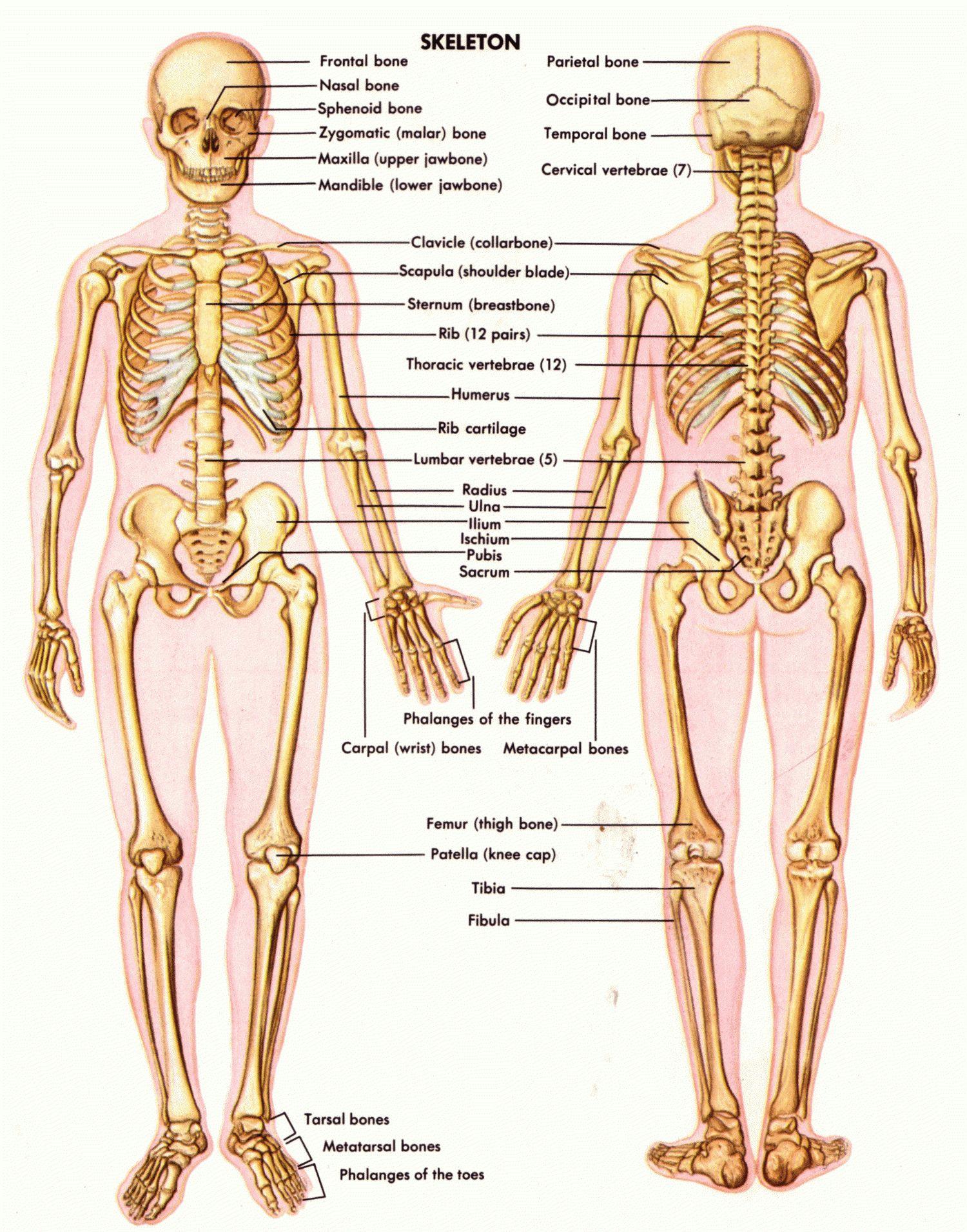 anatomy male groin anatomy male groin skeletal grion area male groin bones diagram [ 1500 x 1910 Pixel ]