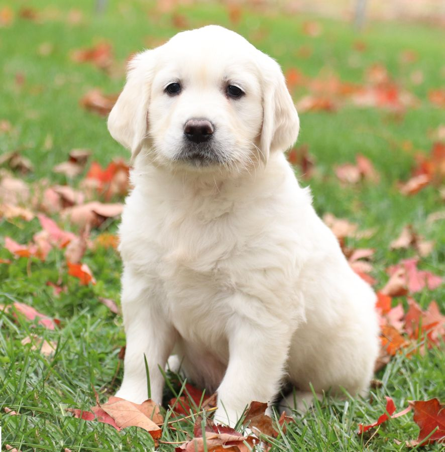 Pin By Daisha On Sweet Golden Retriever Puppies For Sale In 2020 Golden Retriever Retriever Puppy Puppies