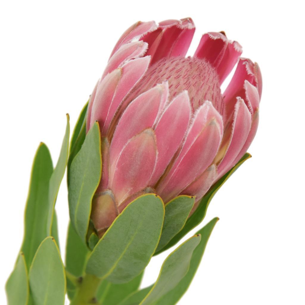 Proteas Make Great Cut Flowers Steemit