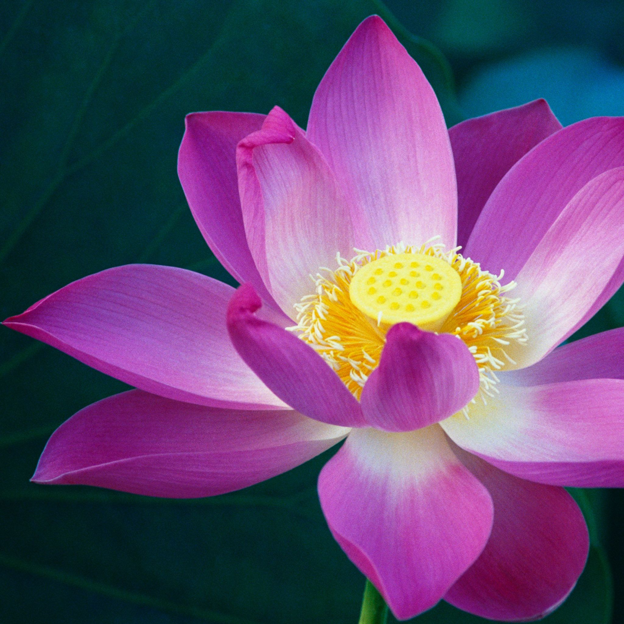 Wale Lotus Flower Bomb Image Collections Flower Wallpaper Hd