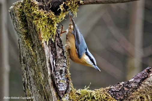 National Geographic Education - Community - Google+An adorable and acrobat Nuthatch (Sitta europaea).  The Nuthatch often walk upside down, it is the only one capable of such a feat among all members of our continental European avifauna. About the size of a sparrow, gray blue for the top, orange-red to the bottom, and fine line highlighting black eye, she explores the tree trunks and branches head backwards or to the place, suspended due to long claws of its feet. The tree is its biotope and…