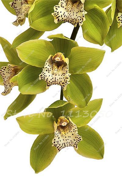 100 Pcs Cymbidium Seed Rainbow Chinese Cymbidium Orchid Flower Seeds Potted Plant Indoor Bonsai Flower Seeds Cic Amazing Flowers Green Orchid Beautiful Orchids