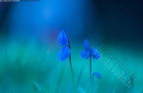Sinililja - sinililja sininen aikainen kevät kukka kukat kasvi kasvit parsakasvi koristekasvi toukokuu kukkia terälehdet Scilla sipulikasvi myrkyllinen