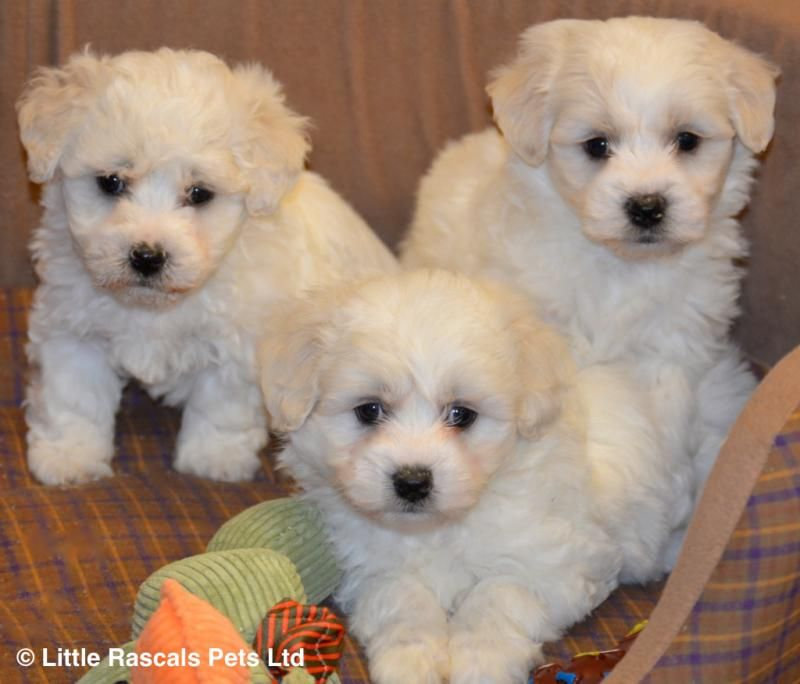 Stunning Maltichon Babies Designer And Cross Breed Puppies For Sale Potty Training Puppy Dog Potty Training Puppies