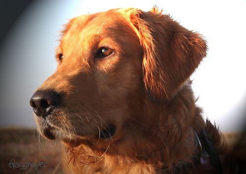 Great Look Field Golden Retriever Jumping Dog Dog Training
