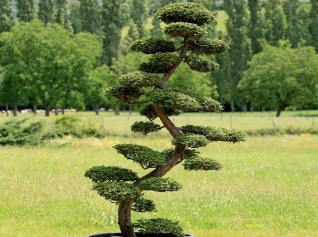 Comment tailler ses arbres en nuage bonsai gardens and garden ideas - Comment tailler des cypres ...