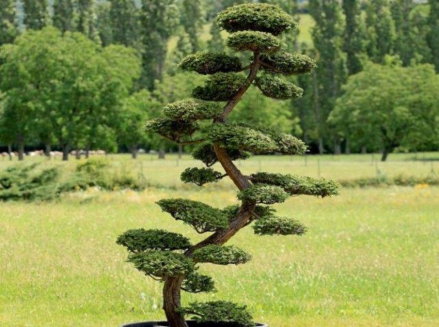 Comment tailler ses arbres en nuage? | Extérieur | Jardins, Olivier ...