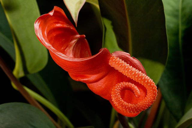 Anthurium Flower Facts Growing Caring Anthuriums Plant Anthurium Flower Strange Flowers Anthurium Plant