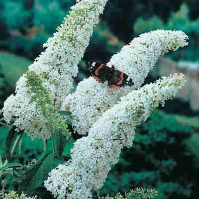 Butterfly Bush, White Full Sun, 4-8\' in height, 1 for $3.75 ...