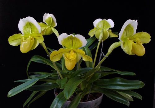 Paphiopedilum Orchid Care  OrchidWeb is part of Orchid plant care, Paphiopedilum, Beautiful orchids, Orchids, Exotic flowers, Orchid bark - Paphiopedilum Orchid Care