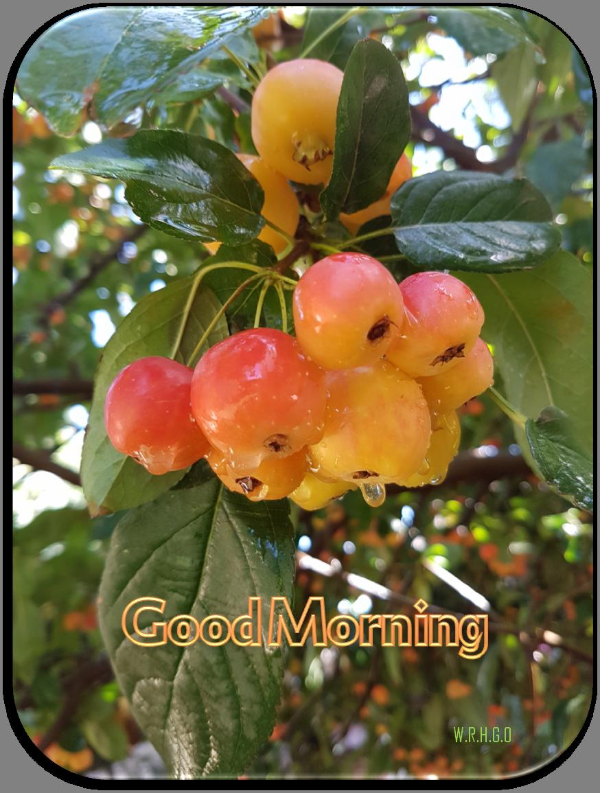 GOOD MORNING Apple tree from my garden