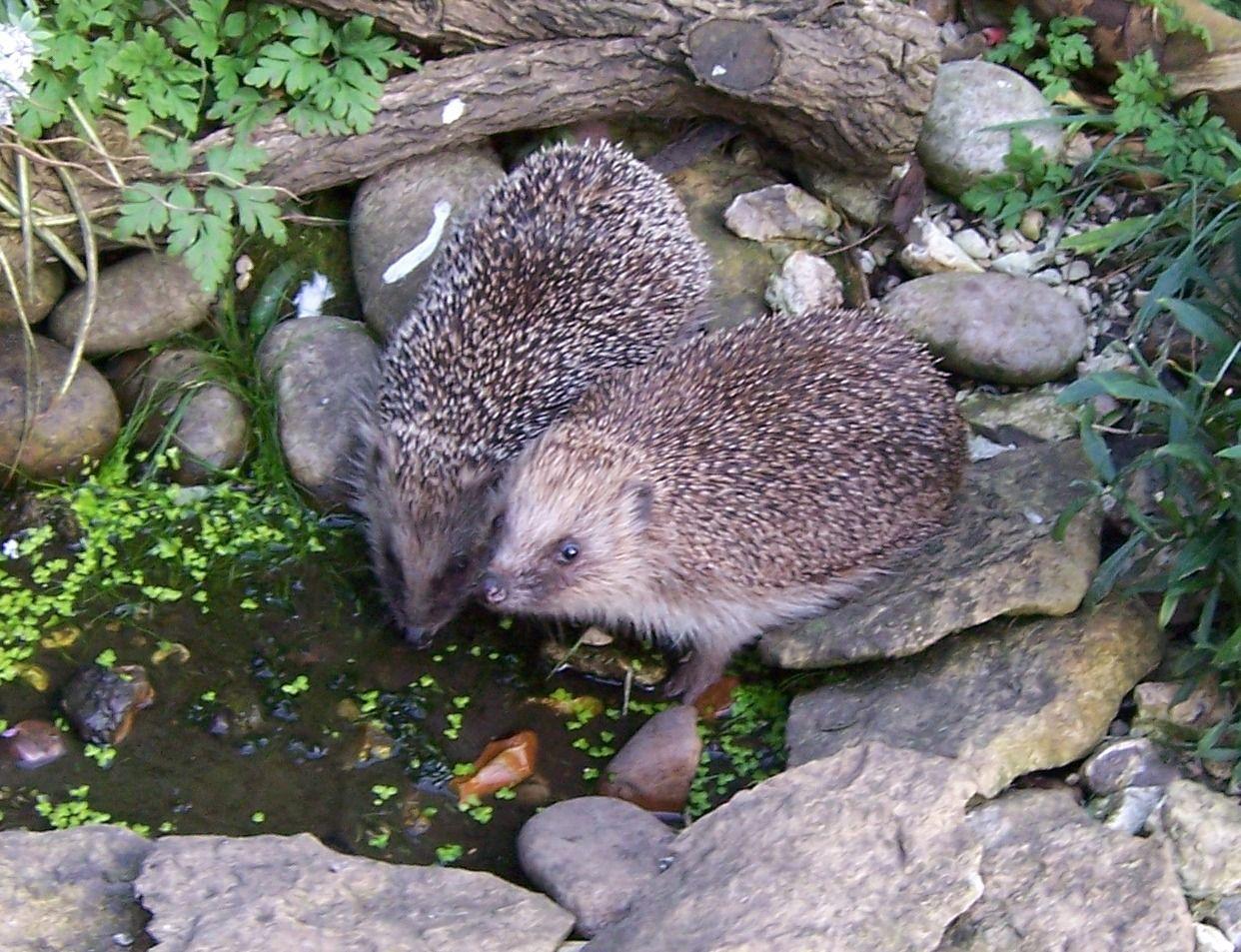 Hedgehogs | Wildlife gardening, Bog garden, Garden pond design