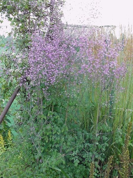 Thalictrum delavayi \'Hewitt\'s Double\' | Garden and Pond | Pinterest ...