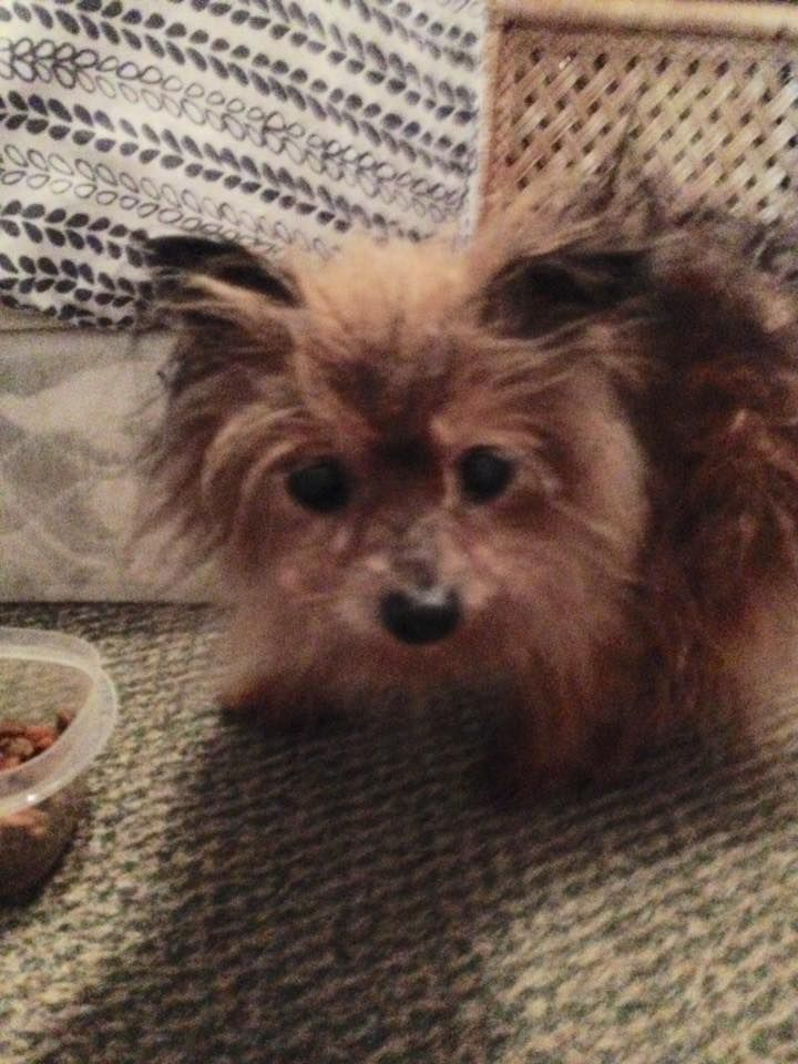 Ashley Peterson Lost Pets Of The Hudson Valley Tiny Little Dog Found At The Intersection Of Evergreen Drive And Route 55 On T Losing A Pet Little Dogs Pets