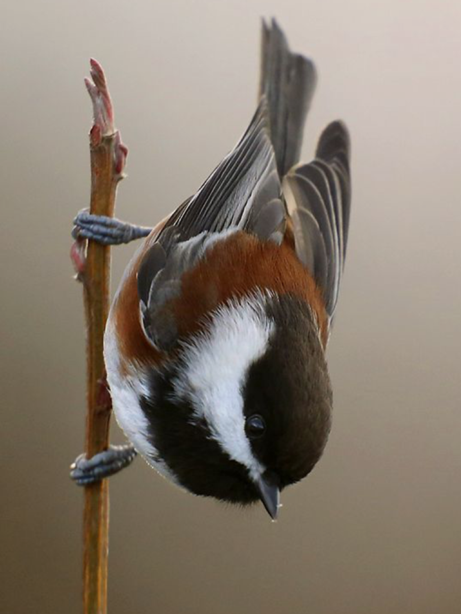Chestnut-backed Chickadee, Poecile rufescens: Pacific NW/ W-Can/ AK to SW-CA, photo by Janine Russell on 500px // 500px