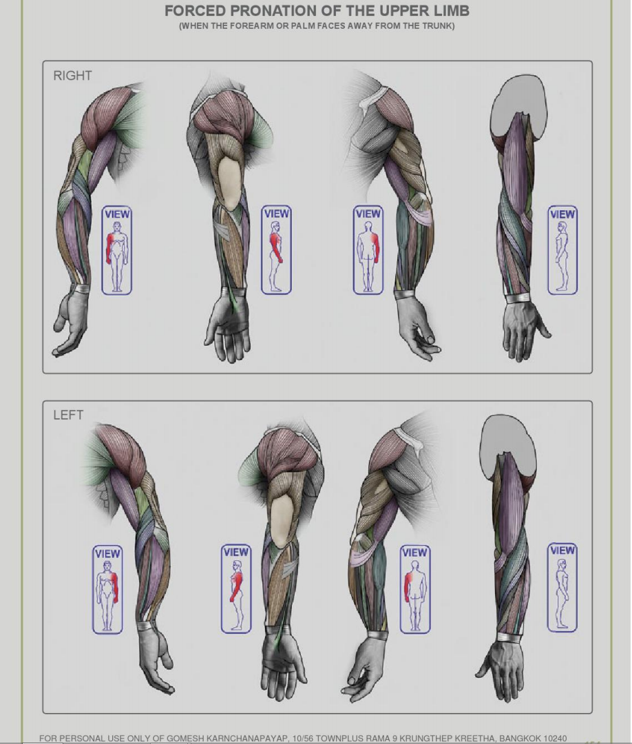 forced pronation of the upper limb - Anatomy for Sculptors | Anatomy ...