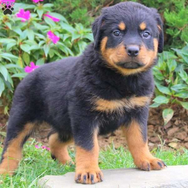 Lilacis ahandsome Rottweilerpuppy who will steal your heart in a minute. This sweetpup is vet checked, up to date on shots and wormer, plus comes with a health guarantee provided by the breeder. Lilac can be registered with the AKC. She has a friendly spirit and loves to play and explore. To find out how you can welcome Lilacinto your home, please contact the breedertoday!