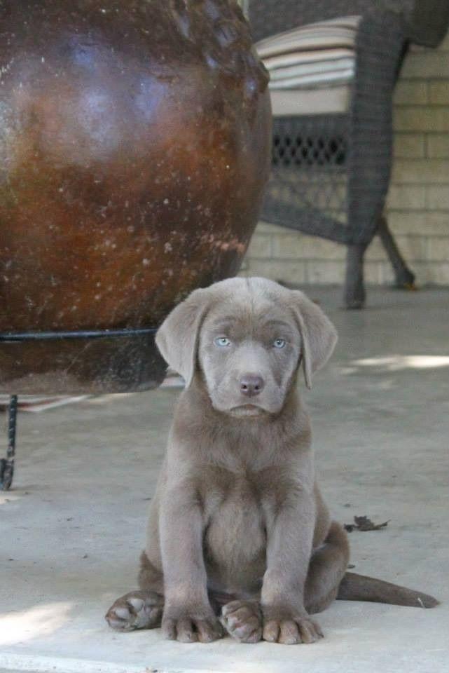Silver Labrador Puppy Silver Labrador Puppies Cute Labrador