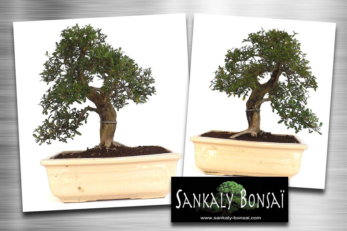 Superbe sujet de Serissa Foetida Indonésien Bonsai de 35 cm de ...