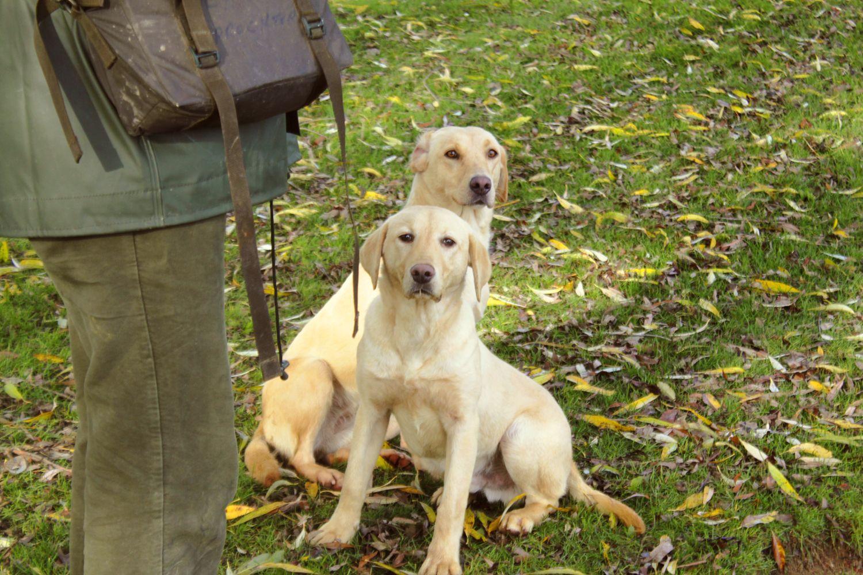 Pip & Mac. Working dogs, Yellow labrador, Dogs