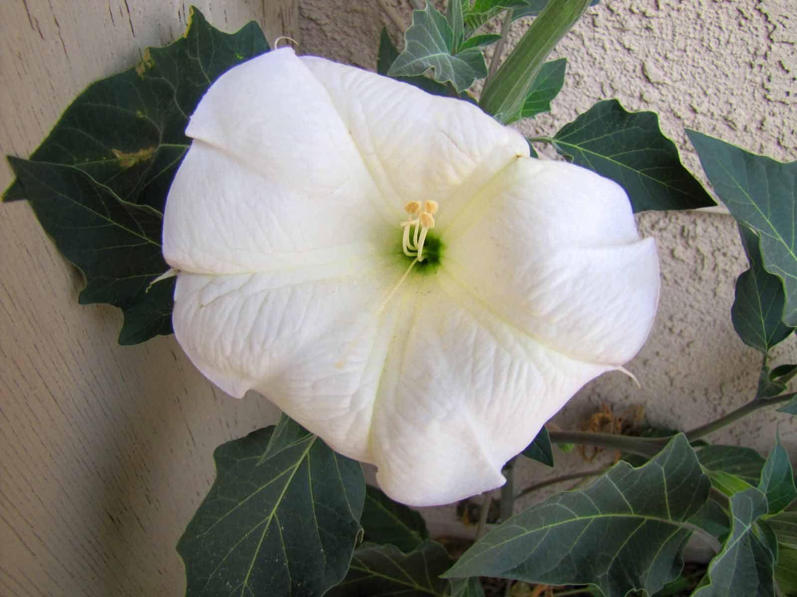 White Desert Bell Flower In Jt Flowers Pinterest Deserts And