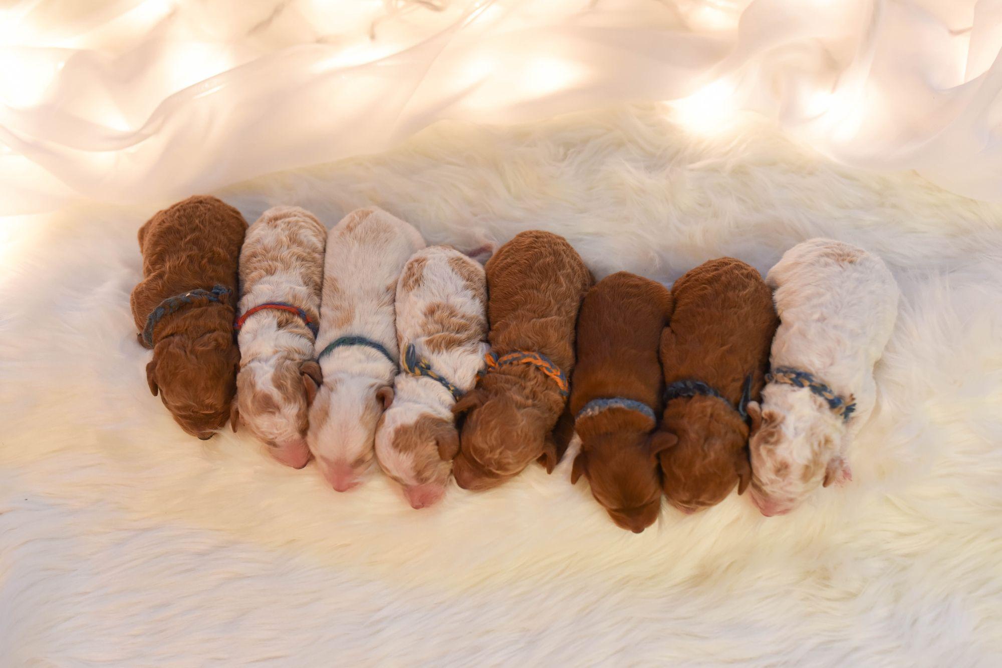 Oak Ridge TN Goldendoodles Our newest litter of F1B Mini