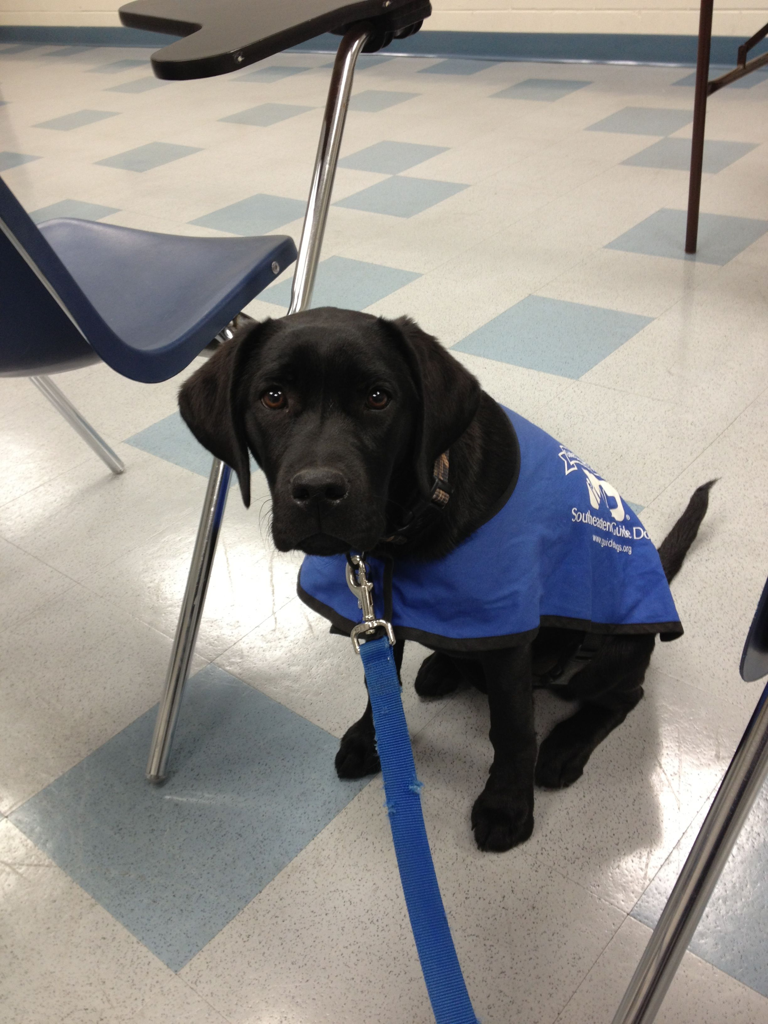Southeastern Guide Dog Puppy Lois In Training Guide Dog Dogs