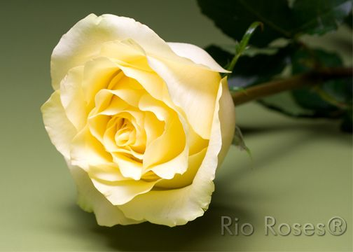 Rio Caipirihna Soft Pale Yellow Extra Large Bud High Petal Count 8 10 Day Vase Life Available In 50 70 Cm Rose Varieties Flowers Rose