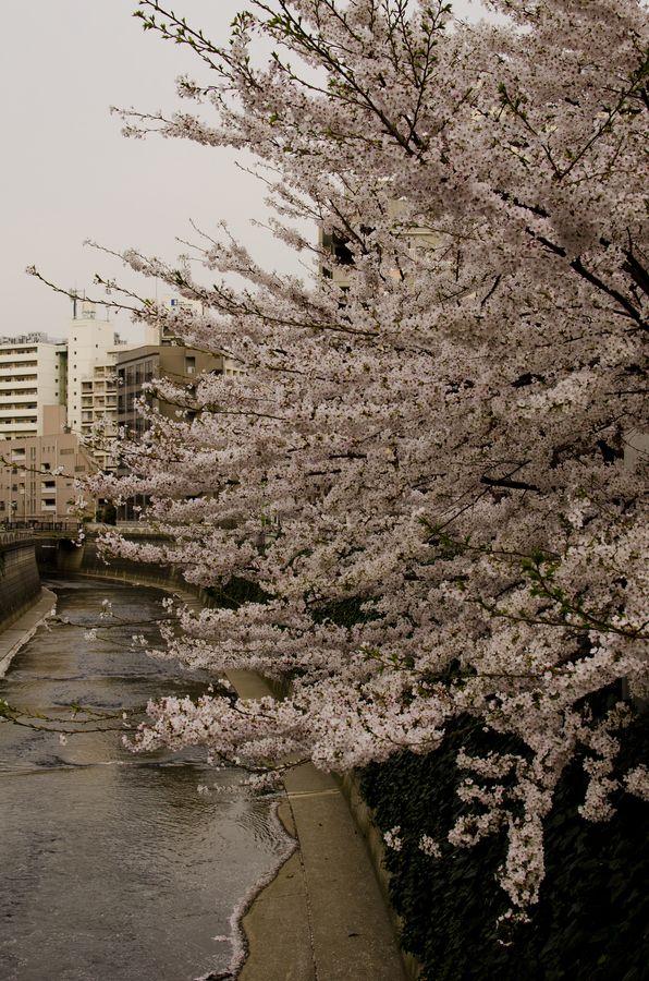 Ohanami Japan Photo Cherry Blossom
