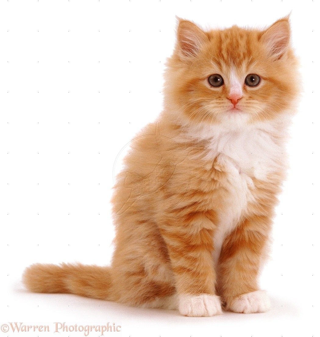 Fluffy Ginger Kitten Photo Cute Fluffy Kittens Fluffy Kittens Orange Kittens