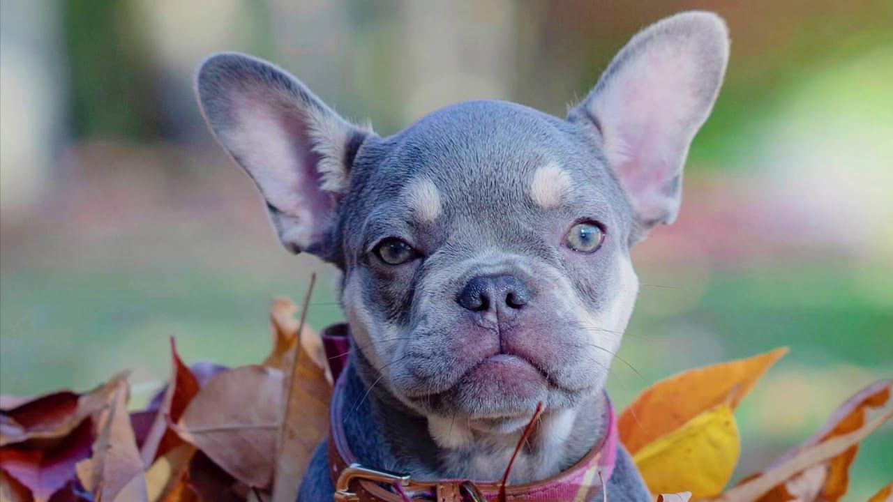 lilac and tan akc french bulldog puppy for sale | nw