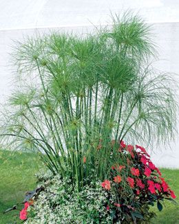 Container gardening · King Tut grass Just saw it today for the first time and want some