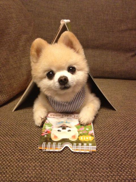 Wanko リクエストにお応えして 一年ぶりの 狭いながらも楽しい我が家 Via Keep0109 ポメラニアン かわいい 可愛い犬 かわいい動物の赤ちゃん