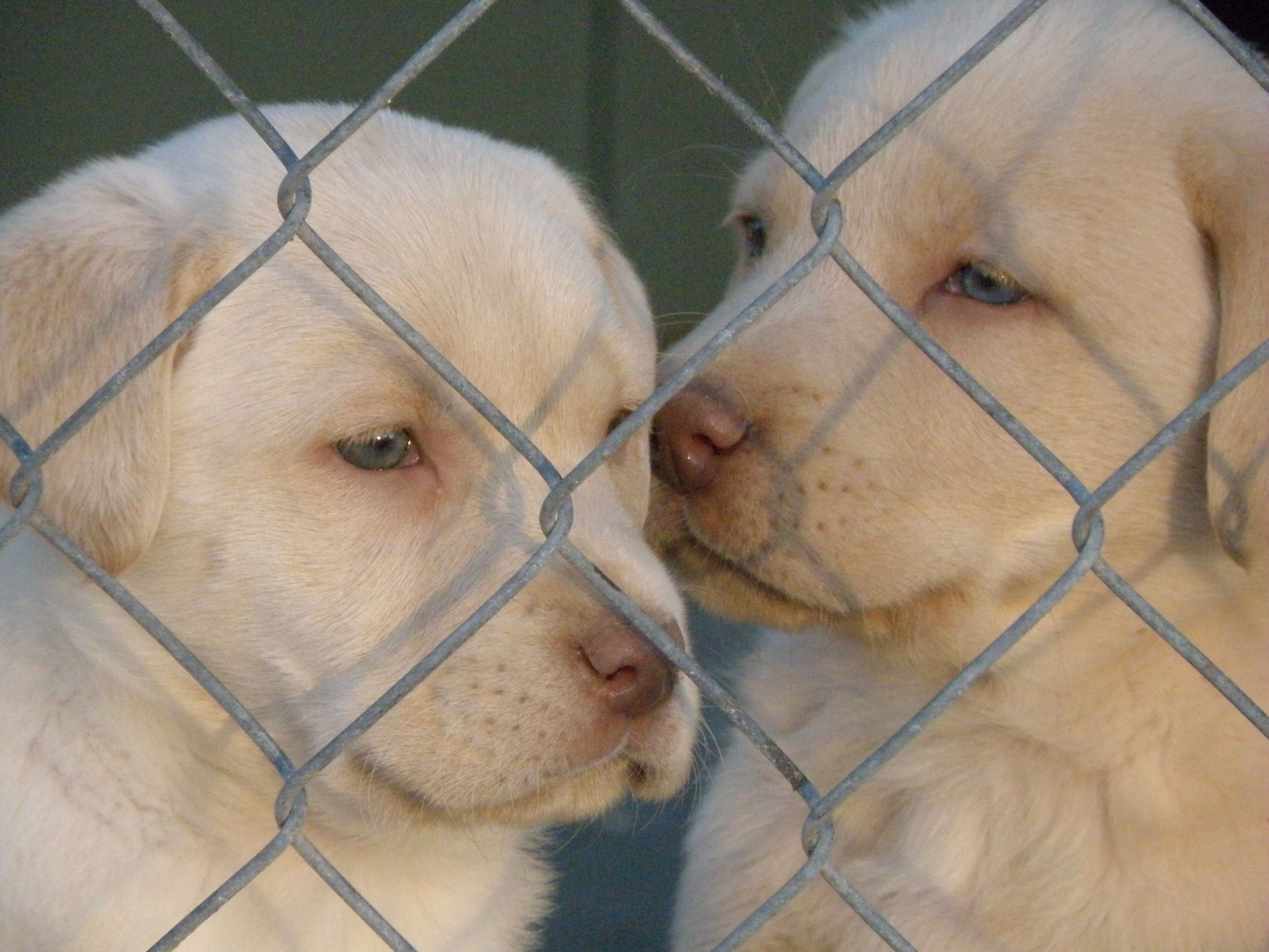 Champagne lab puppies! Blue eyes, too cute <3 <3   Melts My