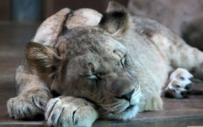 lion_cub_2-wallpaper.jpg