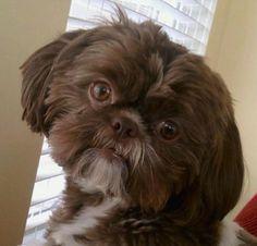 Pin By Pets Book On Shih Tzu Shih Tzu Dogs Puppies