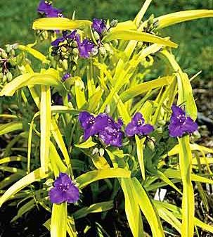 Black Walnut Tolerant Plants.  Spiderwort.  Canadale Nurseries Ltd.