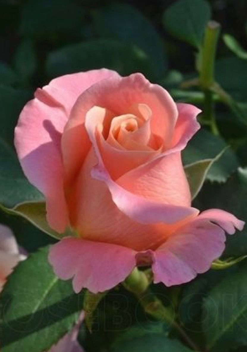 Pretty Rose Pinterest Rose Flowers And Beautiful Flowers
