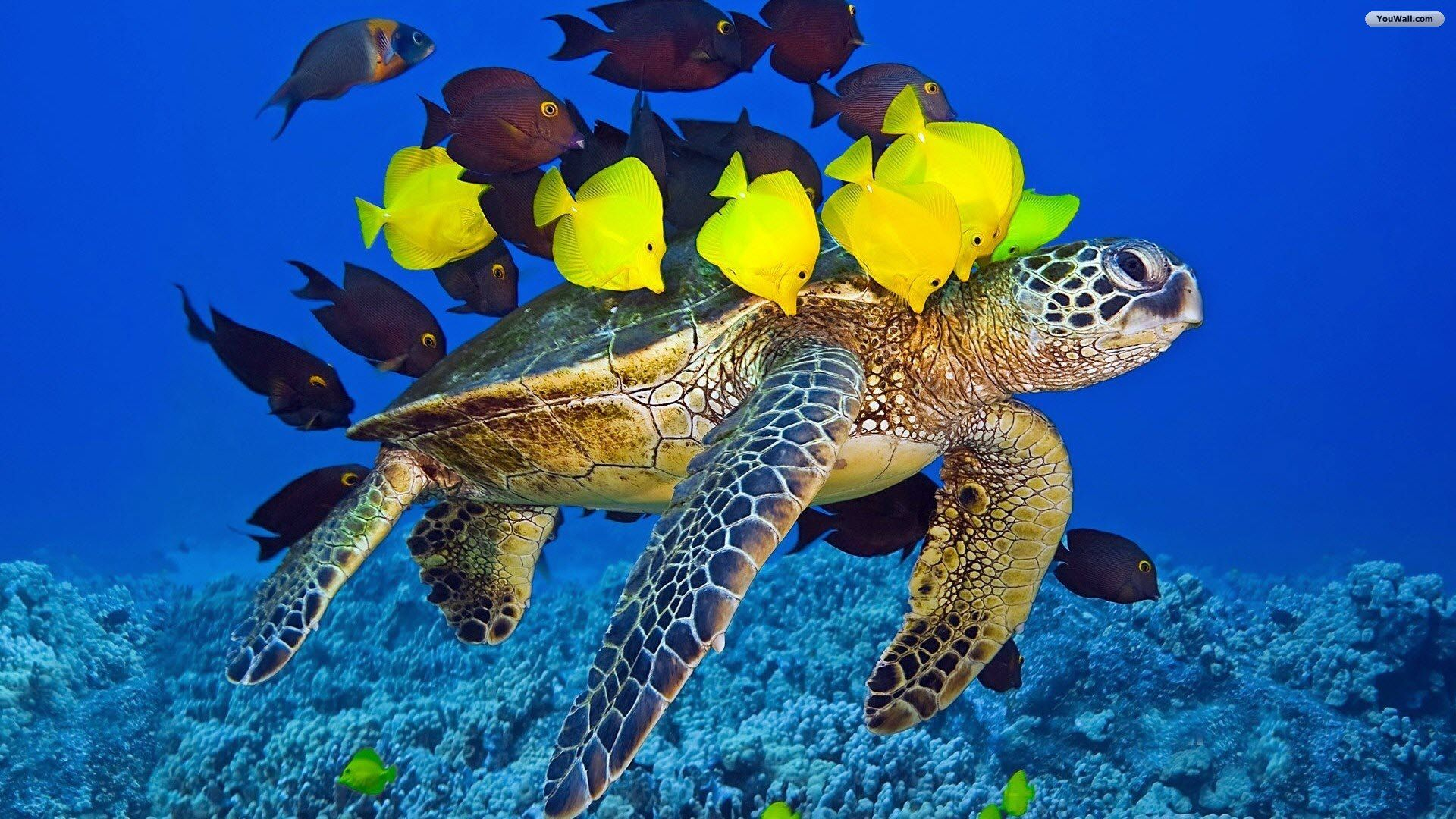 Turtle And Fishes Wallpaper