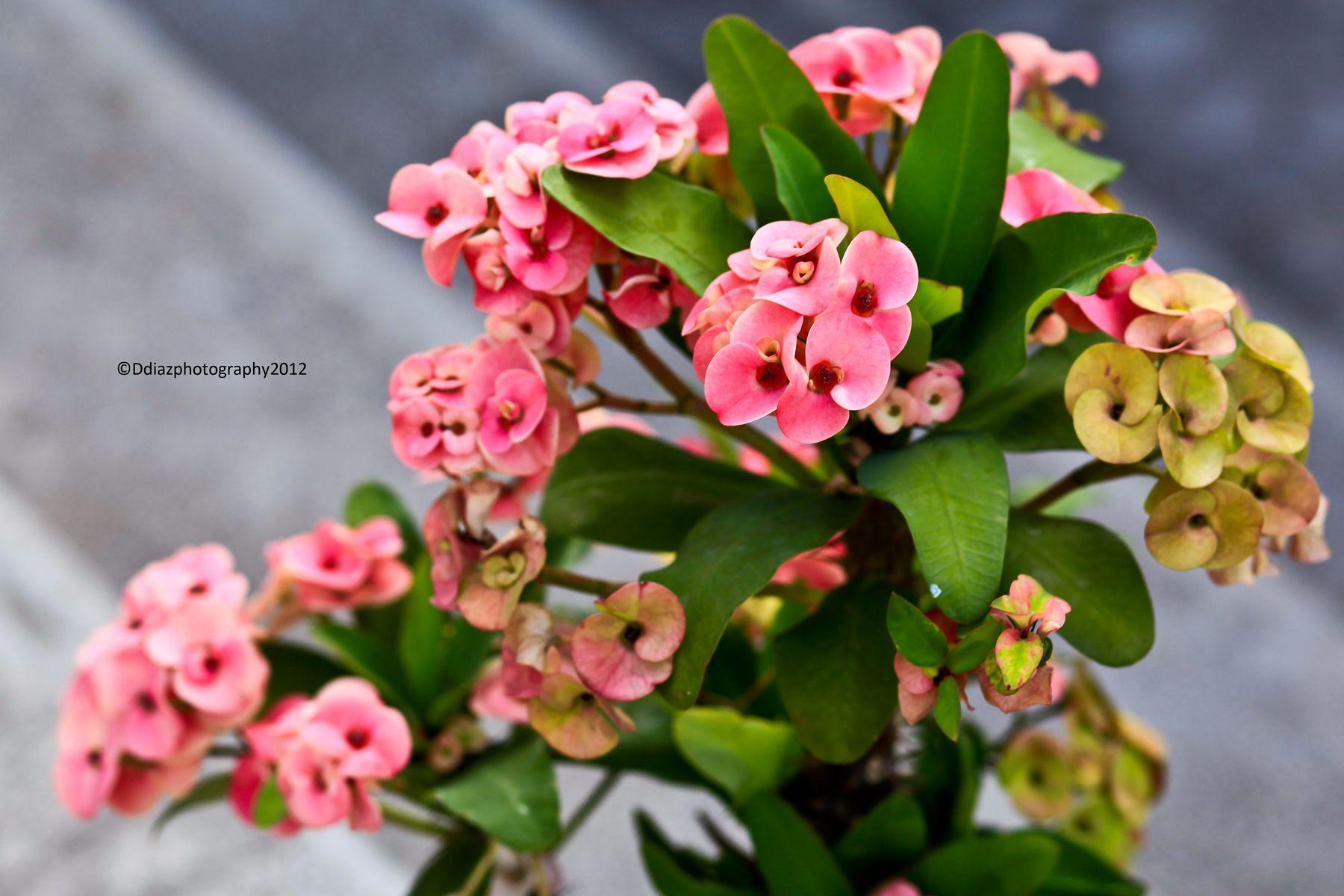 Local flowers in ilocos norte philippines floras pinterest local flowers in ilocos norte philippines izmirmasajfo