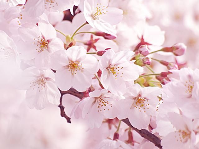 Relationships With Nature Cherry Blossom Beautiful Flowers Pretty Flowers Flowers Nature