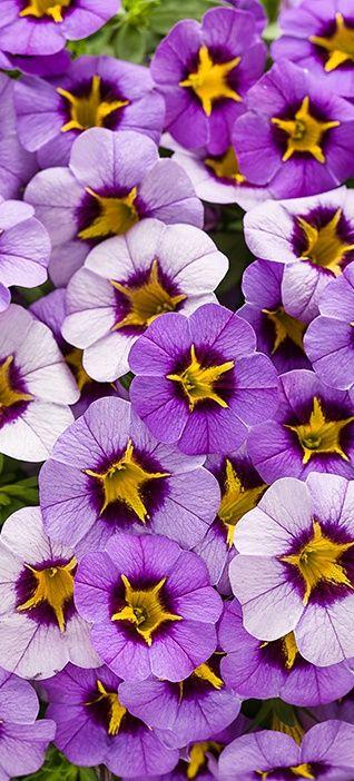 Superbells Evening Star Calibrachoa Hybrid Purple Plants White Flower Farm Purple Flowers