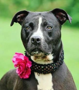 CODE RED!!~~~SUPER URGENT!!~~ THIS IS A KILL SHELTER!!~~Meet Barbie an adoptable Pit Bull Terrier looking for a forever home. If you're looking for a new pet to adopt or want information on how to get involved with adoptable pets, Petfinder.com is a great resource.