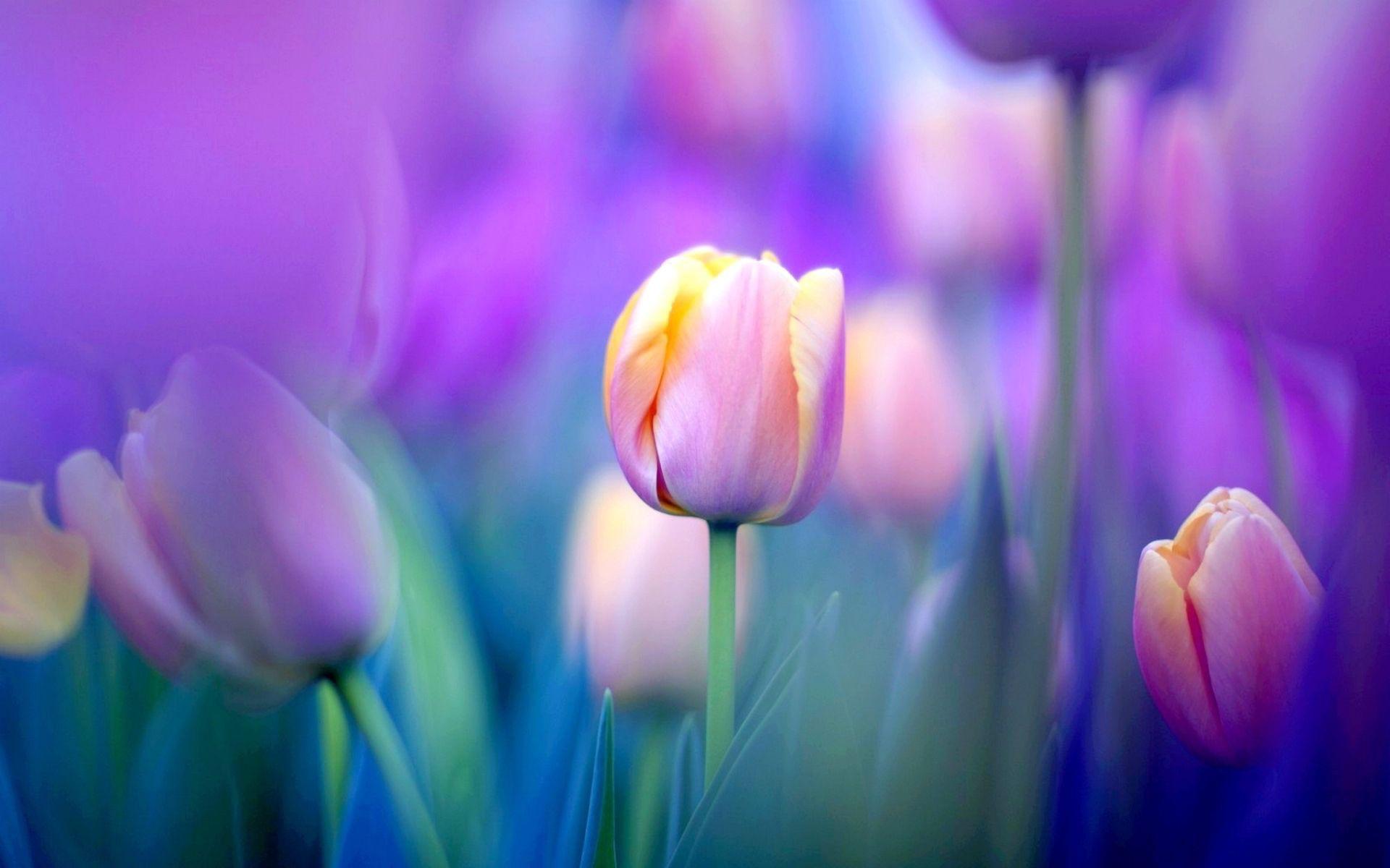 Yellow And Pink Tulips TULIPS Desktop hintergrund rh