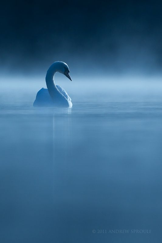 Mute Swan at first light by Andrew Sproule on 500px