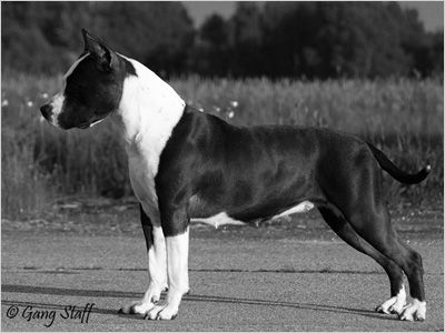 Gang Staff Kennel :: American Staffordshire Terrier