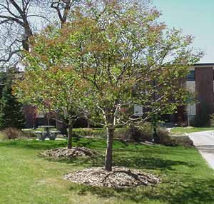 Great Patio Trees And Info On An Arboreta At Regis