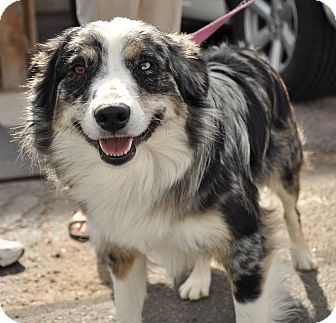 Denver Co Australian Shepherd Border Collie Mix Meet Aspen A Dog For Adoption Dog Adoption Australian Shepherd Pets